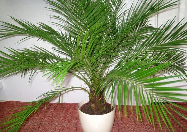 Пальмовые уход в домашних условиях 69