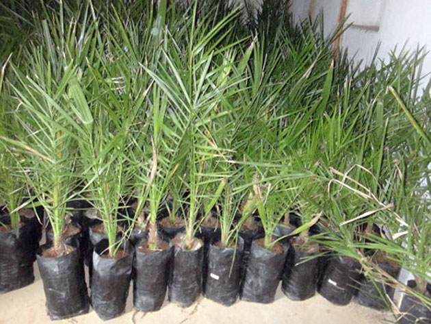 Финики выращивание в домашних условиях из косточки 9