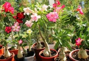 Выращивание цветов адениумов из семян на дачном участке