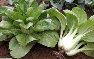 Какая технология выращивания капусты пак-чой на дачном участке