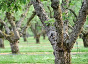 Какие есть болезни садовых деревьев и их лечение
