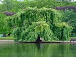 Какие есть влаголюбивые деревья и кустарники для дачи