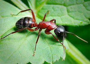 Какие растения не любят садовые муравьи