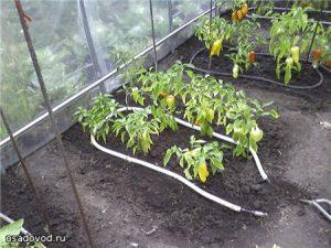 Как делается капельный полив для помидоров в разных условиях