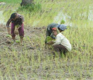 Как заниматься выращиванием риса на дачном участке