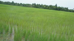 Как вырастить рис на грядке