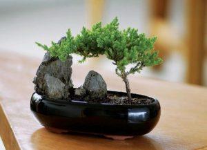 Как можно выращивать бонсай