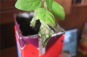 Основные правила выращивания плодородной рассады томатов