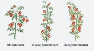 Как нужно пасынковать детерминантные помидоры