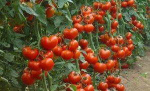 Правильное пасынкование помидоров