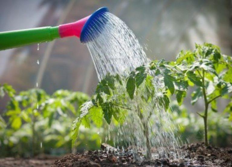 как часто поливать рассаду атлетом