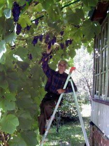 Как посадить виноград в Подмосковье и какой сорт лучше выбрать