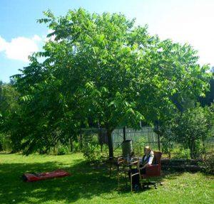 Как посадить маньчжурский орех в домашних условиях