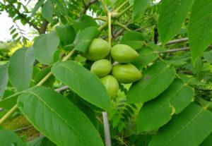 Преимущества маньчжурского ореха
