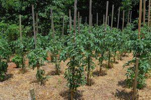 Как правильно мульчировать помидоры и какой способ выбрать