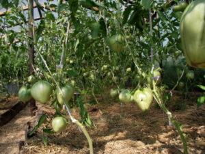 правильно мульчировать помидоры