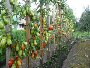 Как правильно подвязывать высокорослые помидоры