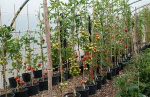 Способы подвязки высокорослых сортов помидоров