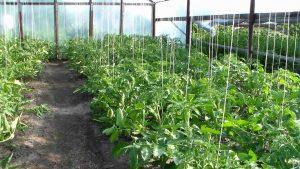 подвязывать высокорослые помидоры