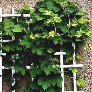 Как правильно посадить и вырастить хмель на дачном участке