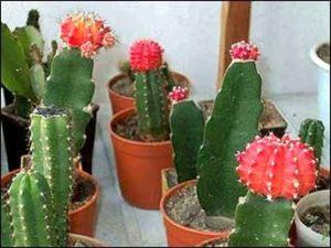 посадить кактус без корней