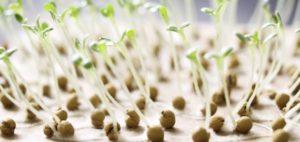 семена огурцов на всхожесть