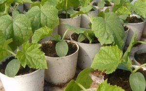 Как правильно прорастить семена тыквы на рассаду
