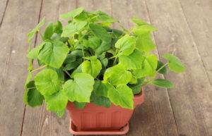 прорастить семена тыквы на рассаду