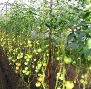 Как правильно формировать куст помидоров в теплиц