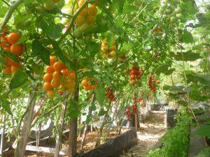 формировать куст помидоров в теплице и открытом грунте
