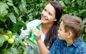 Как проводится внекорневая подкормка помидоров