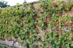 Как сделать и посадить виноградник на даче своими руками