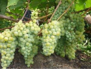 посадить виноградник на даче своими руками