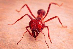Как избавиться от красных муравьев в доме