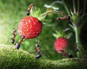 Как эффективно избавиться от муравьев на клубнике