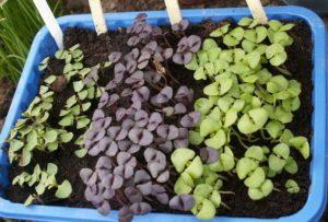 высаживать рассаду базилика в открытый грунт