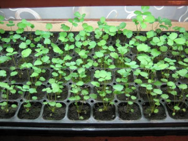 Как сажать землянику семенами на рассаду 19