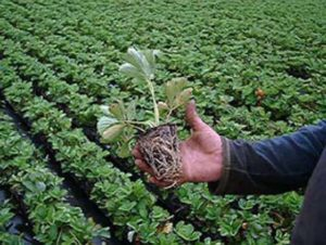 высаживать рассаду земляники в открытый грунт