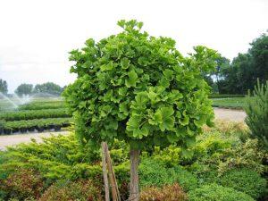 Особенности выращивания дерева гинкго билоба на дачном участке