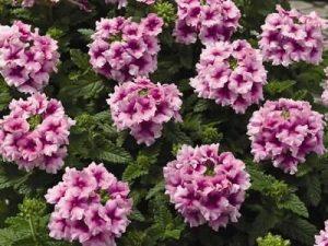Особенности ухода за растением