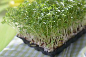 Особенности выращивания кресс-салата на дачном участке