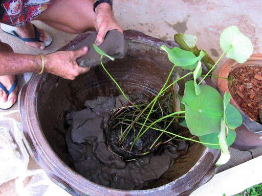Как из семян вырастить лотос из семян