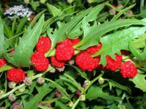 выращивание земляничного шпината