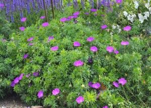 Герань гималайская садовая: посадка и системный уход