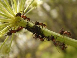 применять корицу от муравьев на дачном участке