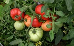 Чем лучше всего опрыскивать помидоры от болезней