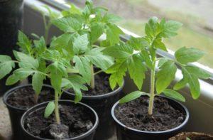 Что делать,если рассада помидоров бледная и тонкая
