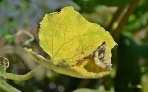 Что делать если сохнут листья у рассады огурцов