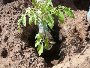 Что класть в лунку при посадке помидоров