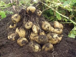 Голландский способ выращивания картофеля